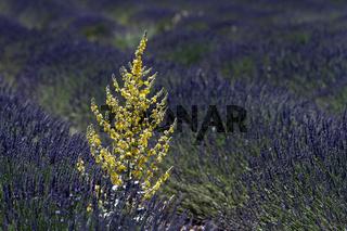 Königskerze im Lavendelfeld