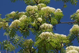 Sorbus aucuparia, Eberesche, Rowan