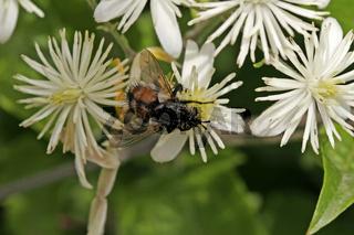 Tachina fera, Raupenfliege, Echinomyia fera, Igelfliege