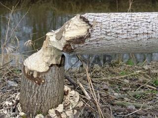 Vom Bieber gefaellter Baum