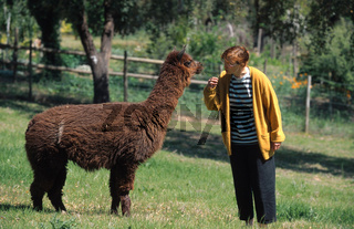 Alpaka (Lama guanicoe f. pacos), mit Frau. | alpaca (Lama guanicoe f. pacos), with woman