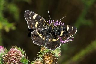 Araschnia levana, Landkärtchen (Sommerform)