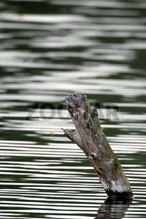 Baumrest im Wasser - Tree-trunk