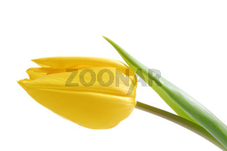 Gelbe Tulpe, Tulip