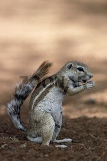 Kaokoveld-Erdhoernchen, Ground Squirrel,  Xerus princeps, Etosha National Park, Namibia, Afrika