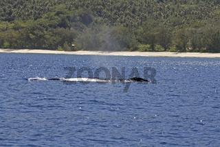 Buckelwal vor Rurutu/Humpback whale in Rurutu