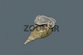 Spitzschlammschnecke  'Lymnaea stagnalis'