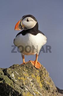 Atlantic puffin, Papageitaucher, Fratercula arctica,