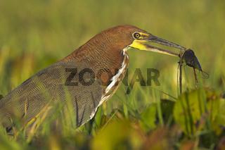 Marmorreiher, Llanos de Orinoco, Orinoco, Tigerreiher, Rufescent Tiger Heron