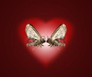 verliebte Motten