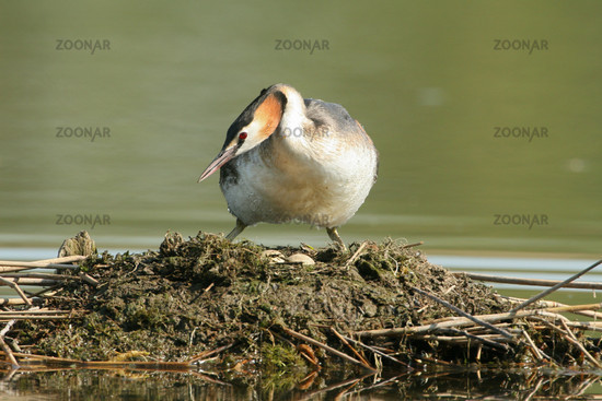 Great Crested