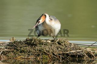Haubentaucher / Podiceps cristatus / Great Crested