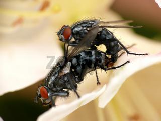 Fleischfliegen