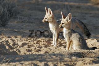 kapfuchs, cape fox, capefox, Vulpes chama, Kamafuchs, chama-fuchs, Silberrueckenfuchs, South Africa, Suedafrika