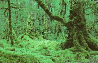 Urwald in Neuseeland