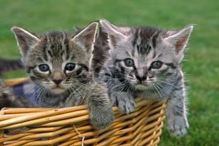 Junge Hauskatzen im Körbchen
