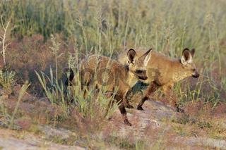 Otocyon megalotis, bat eared fox, loeffelhund, wildhund, suedafrika, southafrica