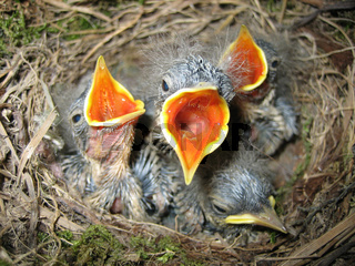 Küken Babybird