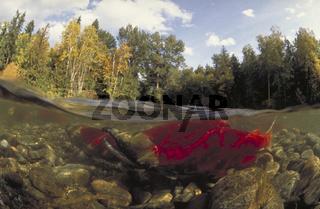 Rotlachs, Sockeye, Oncorhynchus nerka, Salmon, Lachs, Kanada, Adams River, Canada