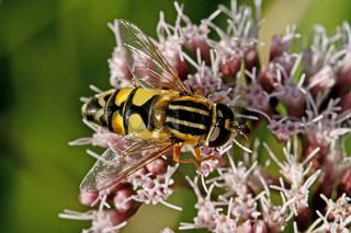 Helophilus trivittatus, Große Sumpfschwebfliege, Schwebfliege