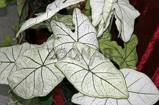 Caladium bicolor, Kaladie, Buntwurz