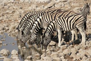 Steppenzebras (Equus quagga); Plains Zebra