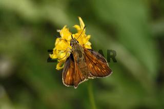 Ochlodes venatus, Rostfarbiger Dickkopffalter