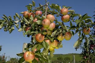 Pimona, Aepfel am Baum, Bayern, Deutschland, Apples on tree, Bavaria, Germany ,