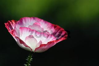 Mohn, Poppy