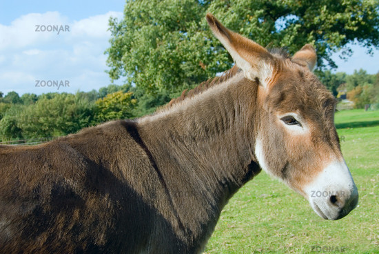 Donkey in the pasture -