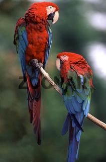 dunkelroter ara, green-winged macaw, gruenfluegelara, ara chloropterus