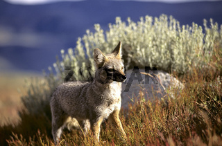 Pampafuchs, Argentinienfuchs, Dusicyon griseus, Gray Fox, Pampas Fox, South american Foxes, NP Torres del Paine, Chile, Patagonien