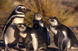 Magellan Pinguin, Magellanic Penguin, Spheniscus magellanicus, Falkland Islands, Falklandinseln, Patagonien, suedamerika