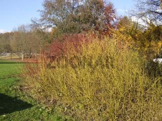 Gelbholzhartriegel, Cornus flaviramea, Dogwood