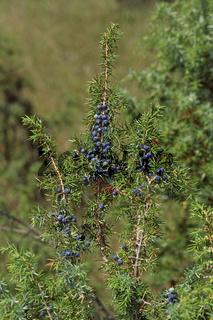 Juniperus communis, Gemeiner Wacholder, Wacholderbeeren