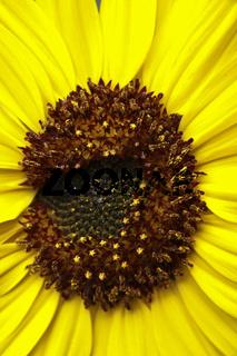 Sonnenblume - Sun flower