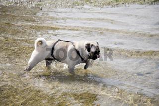Mops im Wasser