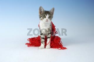 Hauskatze, Domestic Cat, Katze, Petcat