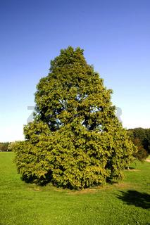 Mammutbaum; Metasequoia glyptostroboides