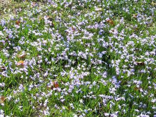 Scilla bifolia, Blausternchen, Squill