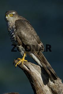 Sperber, Accipiter nisus, Northern Sparrow Hawk, Baden Wuerttemberg, Deutschland, Germany