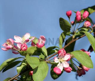 Apple blossoms (Malus sylvestris)   Apfelblüte