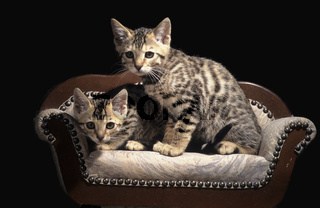 Junge Bengalkatzen, brown spotted tabby bengal cat