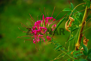 spinnenblume