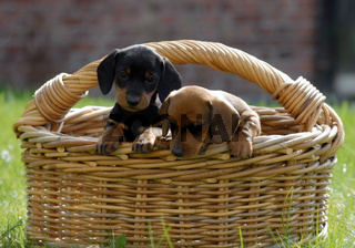 Kurzhaardackel, Dackel, Teckel, Shorthaired Dachshound, Dachshund