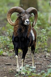 Mufflon (Ovis ammon, Ovis orientalis) Mouflon