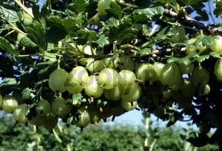 Ribes uva-crispa, Stachelbeere, Gooseberry