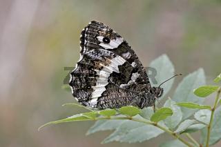 Aulocera circe, Weißer Waldportier, Brintesia circe