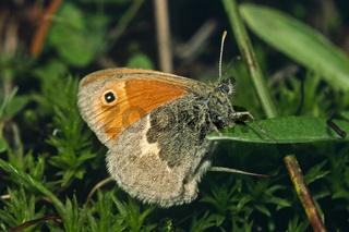 Coenonympha pamphilus, Kleiner Heufalter