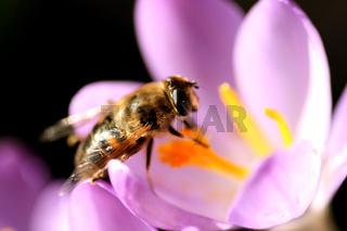 Bee pollinates Crocus /  Biene bestäubt Krokus